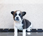 Small Photo #7 French Bulldog Puppy For Sale in HESPERIA, CA, USA