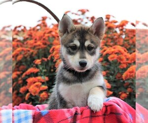 Bluetick Coonhound-Siberian Husky Mix Puppy for sale in CHAMBERSBURG, PA, USA