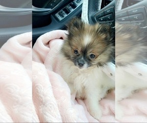 Pomeranian Puppy for sale in COTATI, CA, USA