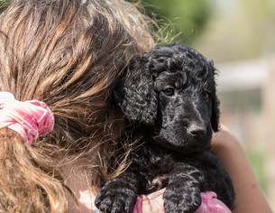 Goldendoodle Puppy For Sale in LAWSON, MO
