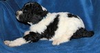 Poodle (Standard) Puppy For Sale in PLACERVILLE, CA