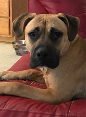 Boxer Mix Dog For Adoption in ELKRIDGE, MD, USA
