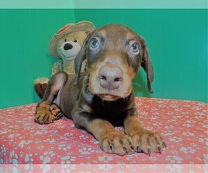 Doberman Pinscher Puppy for sale in PATERSON, NJ, USA