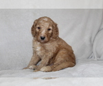 Goldendoodle Puppy For Sale in FRESNO, OH, USA