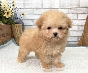 Poodle (Toy) Puppy for sale in CHICAGO, IL, USA