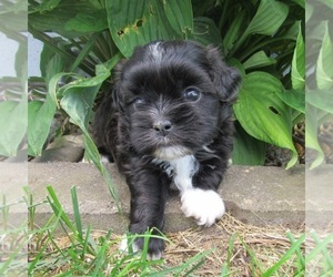 Shih-Poo Puppy for sale in LE MARS, IA, USA