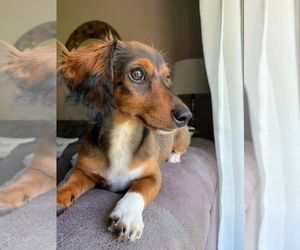 Dachshund Puppy for Sale in LINCOLN PARK, New Jersey USA