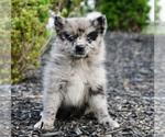 Puppy 5 Pomeranian-Pomsky Mix