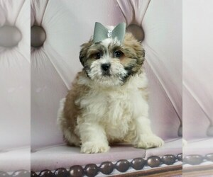 Maltese Puppy for Sale in WARSAW, Indiana USA