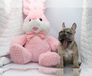 French Bulldog Puppy for sale in PALM BEACH, FL, USA