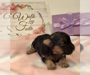 Poodle (Toy)-Yorkshire Terrier Mix Puppy for Sale in LUCASVILLE, Ohio USA