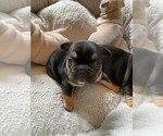 Small Photo #2 French Bulldog Puppy For Sale in FLEMING ISLAND, FL, USA