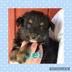 Miniature Australian Shepherd Puppy For Sale in ELKTON, KY, USA