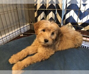 Goldendoodle (Miniature) Dog for Adoption in CO SPGS, Colorado USA