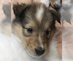 Small #8 Collie