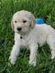 Goldendoodle Puppy For Sale in CAPE CORAL, FL, USA