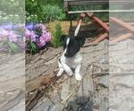 Puppy 0 Border Collie-Unknown Mix
