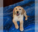 Puppy 1 Golden Retriever
