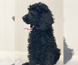 Poodle (Standard) Puppy for sale in N PLAINFIELD, NJ, USA