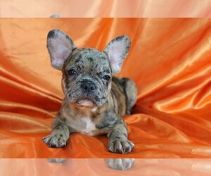 French Bulldog Dog for Adoption in GWYNEDD VALLEY, Pennsylvania USA