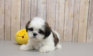Bella Female Shih Tzu