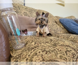 Yorkshire Terrier Puppy for Sale in SANTA CLARITA, California USA