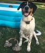 Small #1 Australian Shepherd-Bernese Mountain Dog Mix