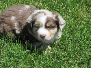 Australian Shepherd Puppy For Sale in AUBURN, IN, USA