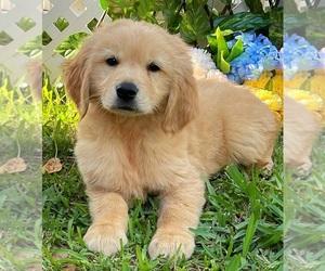 Golden Retriever Puppy for sale in MIAMI, FL, USA
