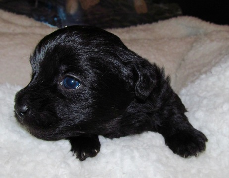 yorkie poo for sale in ga view ad yorkie poo puppy for sale north carolina 4721