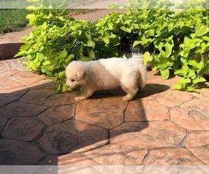 Alaskan Malamute Puppy for Sale in HENNESSEY, Oklahoma USA