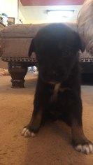 Siberian Cocker Puppy For Sale in SHAWNEE, OK, USA