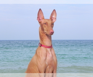 Mother of the Pharaoh Hound puppies born on 05/22/2019