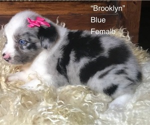 Australian Shepherd Puppy for sale in WINNSBORO, TX, USA