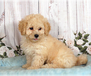 Shih-Poo Puppy for sale in PENNS CREEK, PA, USA