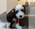 Puppy 1 Bearded Collie