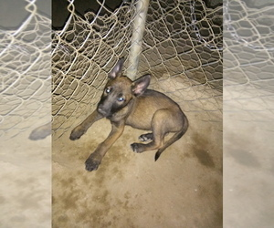 Belgian Malinois Puppy for sale in PALMDALE, CA, USA