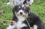 Australian Shepherd Puppy For Sale in RIVERSIDE, CA