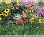 Small #8 Goldendoodle-Poodle (Miniature) Mix