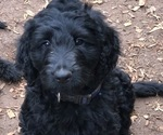 Labradoodle Puppy For Sale in CENTRAL, SC, USA