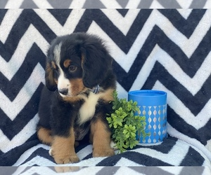 Bernese Mountain Dog-Cavalier King Charles Spaniel Mix Puppy for sale in CEDAR LANE, PA, USA