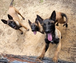 Belgian Malinois Puppy for sale in HOLLY SPRINGS, MS, USA