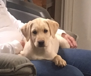 Labrador Retriever Puppy for Sale in MILLERS CREEK, North Carolina USA
