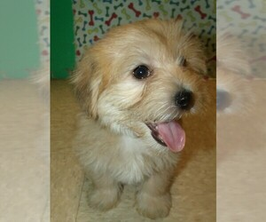 Morkie Puppy for sale in PATERSON, NJ, USA