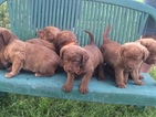 Chesapeake Bay Retriever Puppy For Sale in DAMASCUS, VA, USA
