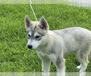 Siberian Husky Puppy for sale in GREENVILLE, NC, USA