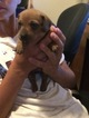 Dachshund Puppy For Sale in BYERS, Colorado,