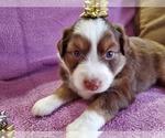 Puppy 2 Miniature American Shepherd