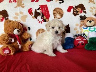 Maltipoo Puppy for sale in SCOTTSDALE, AZ, USA