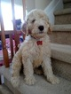 Australian Labradoodle Puppy For Sale in LAKE HOPATCONG, NJ,